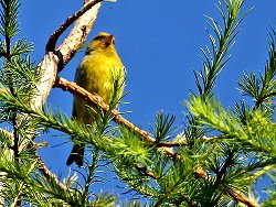 Greenfinch, outside the Environment Centre