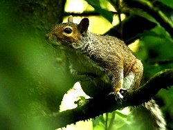 Grey Squirrel, at the Kingfisher Culvert