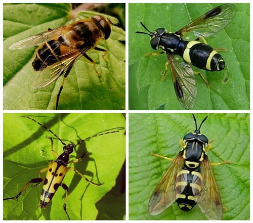 Clockwise from top left: Hoverfly Eristalis pertinax;  Hoverfly Chrysotoxum bicinctum; Hoverfly Chrysotoxum festivum;  Black-and-Yellow Longhorn Beetle
