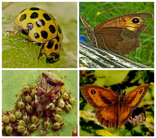 Clockwise from top left: 22-Spot Ladybird;  Meadow Brown Butterfly;  Gatekeeper Butterfly;