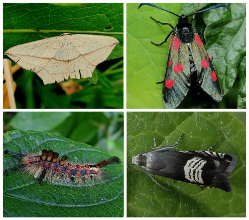Clockwise from top left: Blood-vein Moth;  6-Spotted Burnet Moth;  Moth Grapholita compositella; Vapourer Moth larva