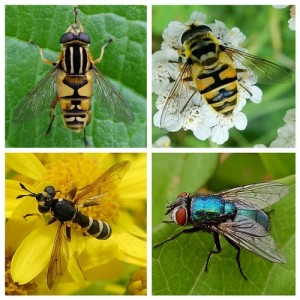 Hoverfly Helophilus pendulus; Hoverfly Myathropa florea; Greenbottle Fly Lucilia sp.; Conopid Fly Conops flavipes