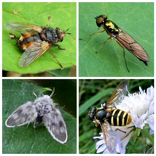 Clockwise from top left: Tachinid Fly - Tachina fera;  Soldier Fly - Twin-spot Centurion; Hoverfly - Sericomyia silentis;  Moth Fly