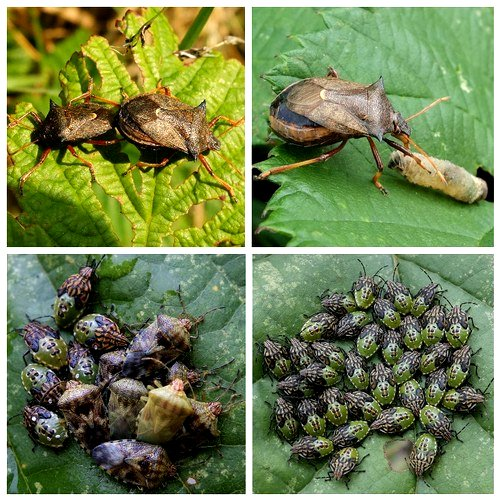 Clockwise from top left: Spiked Shieldbugs mating;  Spiked Shieldbug feeding; Parent Bug nymphs;  Parent Bug nymphs becoming adults