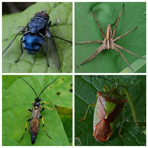 Clockwise from top left: Bluebottle Fly; Nursery Web Spider; Hawthorn Shieldbug; Ichneumon Wasp Amblyteles armatorius