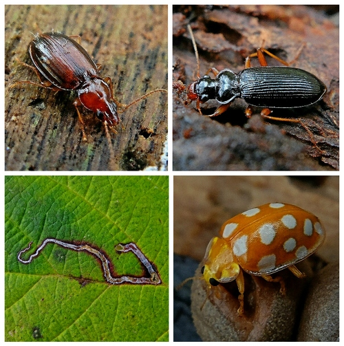 Clockwise from top left: Ground Beetles: possible Ocys harpaloides; Leistus fulvibarbis; Orange Ladybird;