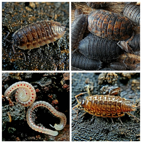 Clockwise from top left: Woodlice: Common Shiny; Common Rough (two colour forms); Common Striped; Red-spotted Snake Millipedes