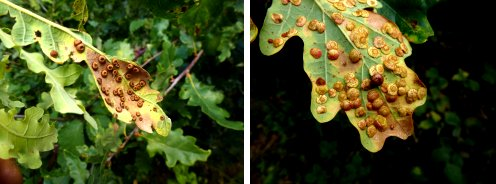 Galls: Oak Silkbutton (left); Oak Spangle and Pea (right)