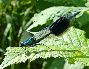 Banded Demoiselle at St Nicks (photo by Cliff Wilton)