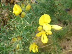 Gorse - in flower, of course!