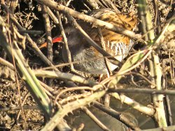 Skulking view of Water Rail in the Bramble patches