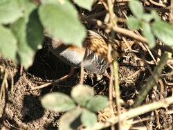 See part of the bird? That'll do! This is often all you'll see of the St Nicks Water Rail!!