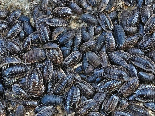 Massed group of Common Shiny and Common Rough Woodlice