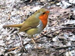 One of our many lovely, confiding Robins, who are singing increasingly!