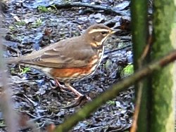Redwing by Tang Hall Beck