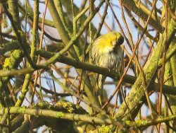 Siskin, preening, after bathing in Tang Hall Beck