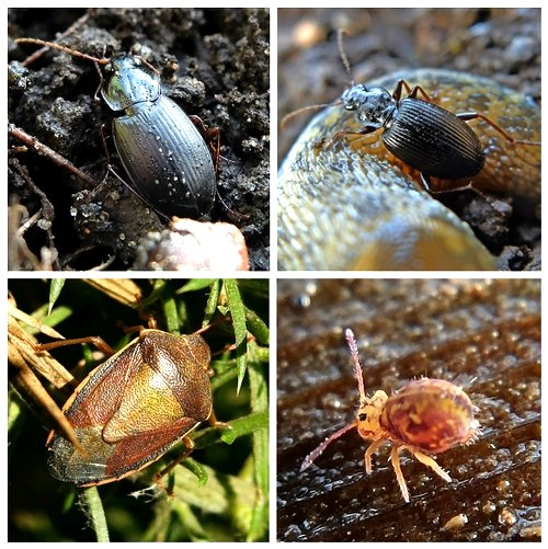 Clockwise from top left: Ground beetles Pterostychus madidus and Leistus spinibarbis;