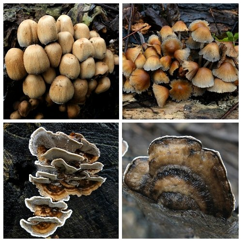 Clockwise from top left: Glistening Inkcap January 11th, Glistening Inkcap January 18th, Turkeytail, Smoky Bracket
