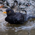 Blackbird bathing, March 2015, by Lewis Outing