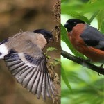 Bullfinch couple - female (left, by Lewis Outing), male (right, by Ian Traynor)