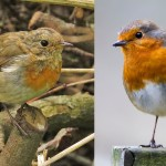 Robins - juvenile left by I Traynor, adult right by L Outing