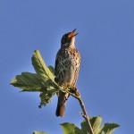 Song Thrush, by Ian Traynor