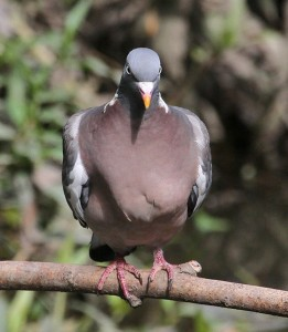 Wood Pigeon, by Ian Traynor