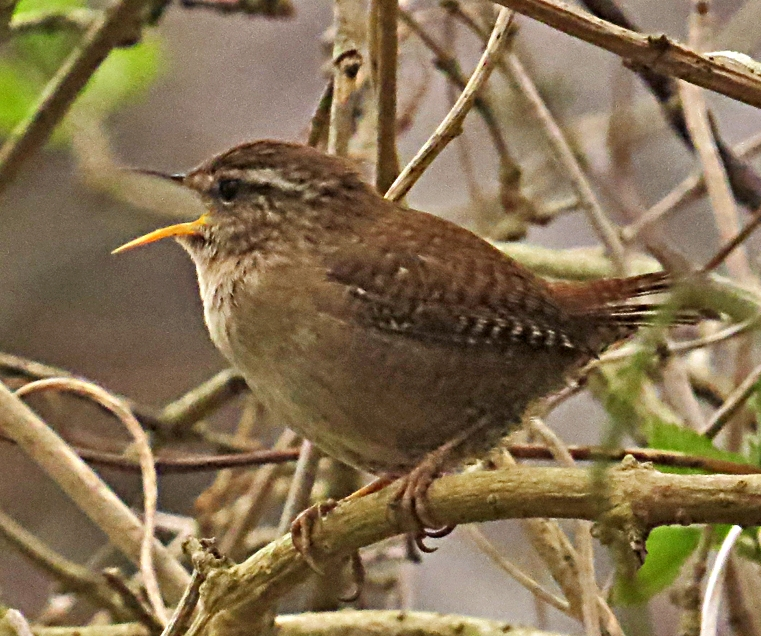 Wren singing, by Ian Traynor 2014