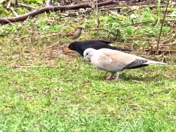 Feeding together - House Sparrow, Blackbird, Collared Dove