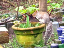 Grey Squirrel in the Environment Centre Garden