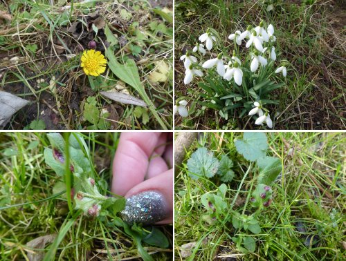 Early Spring flowers.. clockwise from top left: Coltsfoot, Snowdrops - and two views of Nipplewort sp.. possibly Puccinia lapsanae