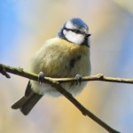 Blue Tit (by Lewis Outing 2017)