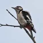Great Spotted Woodpecker, by IanTraynor 2014