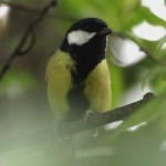 Great Tit, by Ian Traynor