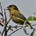 Greenfinch, by Ian Traynor