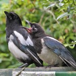 Magpies - juvenile begging (by Ian Traynor 2014)