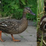 Mallards - female with ducklings on the left, male on the right (2009)