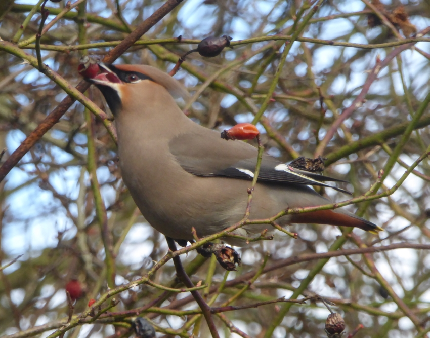 Waxwing visit on 28 February 2017