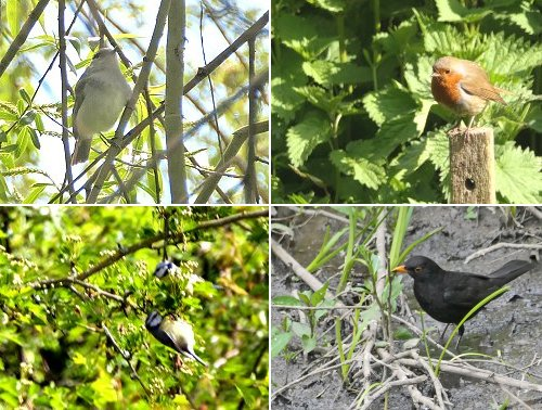 Clockwise from top left: Blackcap; Robin; bathing Blackbird; two Blutits feeding together,