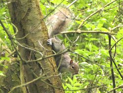 Squawking Grey Squirrel