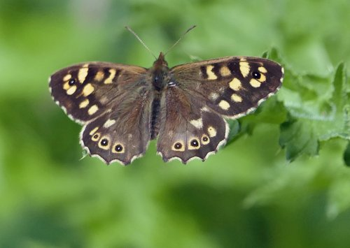 Speckled Wood Butterfly - a common butterfly in shady parts of the reserve