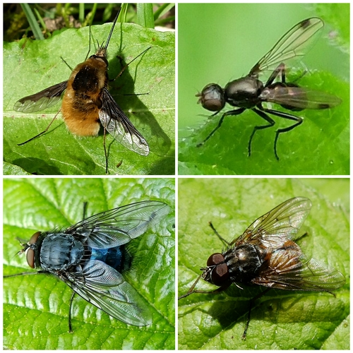 Clockwise from top left: Bee Fly;  Ensign Fly;  House Fly Phaonia subventa;  Bluebottle
