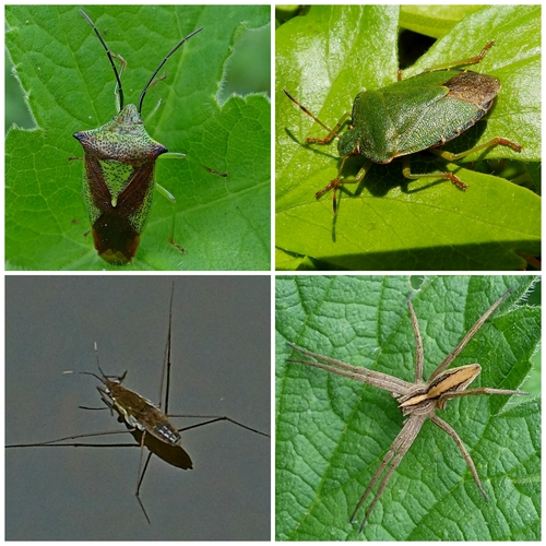 Clockwise from top left: Hawthorn Shieldbug; Common Green Shieldbug; Nursery Web Spider; Common Pondskater
