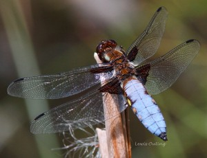 Broad-bodied chaser dragonfly which frequents our wildlife pond (photo by Lewis Outing, 17th June 2017).