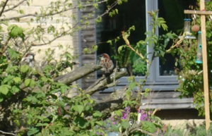 House sparrow by the pond