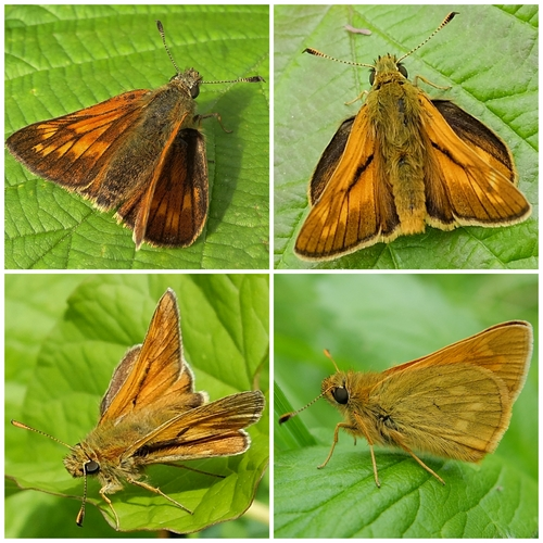 Large Skippers: Clockwise from to left\:Female showing wing pattern; Male showing sex brand on wings; Underwing pattern; Male showing characteristic wing pose.