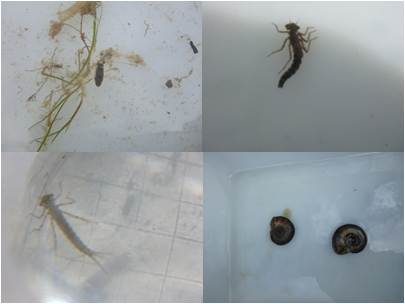 Clockwise from top left: Lesser water boatman, tail-less Damselfly larvae, Mayfly larvae, Fresh water snail