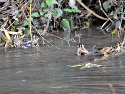Goldfinches in Osbaldwick Beck