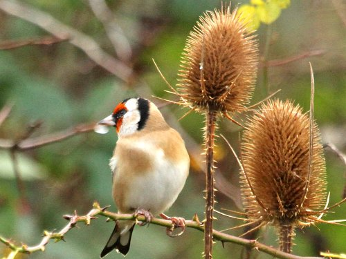 Goldfinch on Teasels