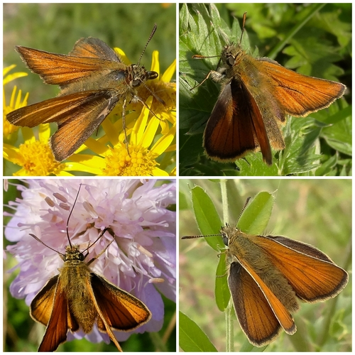 Small Skippers: clockwise from top left: Female showing characteristic wing pose; Male showing thin sex brand on wings; Female perched; On Scabious flower, showing feeding tube.